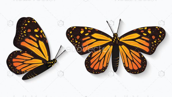 Monarch butterfly illustration